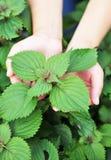 Hands feel coleus plants. In field Stock Photography