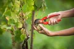 Hands of a female vintner harvesting white vine grapes color to Stock Images