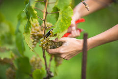 Hands of a female vintner harvesting white vine grapes color to Royalty Free Stock Photos
