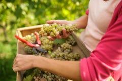Hands of a female vintner harvesting white vine grapes Stock Photography