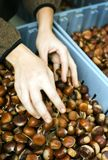 Hands and Filberts. Woman's handing picking out filberts at an outdoor market stock photography