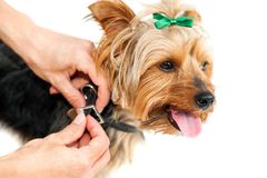 Hands fitting anti flea collar on yorkshire. Stock Photography