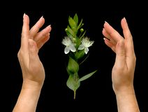 Hands and flower Stock Photography