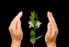 Hands and flower Royalty Free Stock Image
