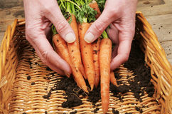 Hands and fresh carrots Stock Photography