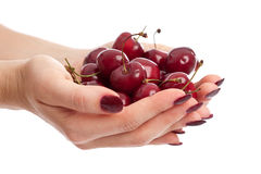 Hands ful of fresh berries. Woman hands with long red fingernails holding fresh cherries Royalty Free Stock Photo