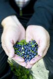 Hands full of blueberries Royalty Free Stock Photography