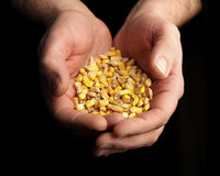 Hands full of corn Stock Images