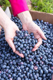 Hands full of fresh picked blueberries Royalty Free Stock Photography