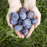 Hands full of fresh raw whole plums with  grassy background Stock Photography