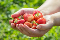 Hands full of fresh strawberries Royalty Free Stock Photography