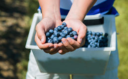 Hands full of freshly picked blueberries. Close up of teenager holding fresh   blueberries in his hands Stock Image