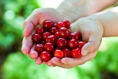 hands full of freshly sweet cherries Stock Image