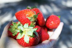 Hands full of juicy strawberries stock photos