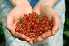 Hands Full Of Red Currant Berries Stock Images