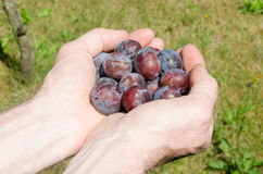 Hands full of plums Stock Photos