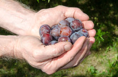 Hands full of plums Royalty Free Stock Photography