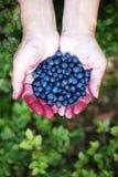 Hands full of ripe blueberries stock image