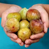 Hands with full of ripe figs. Closeup of woman hands with full of ripe figs Stock Photo