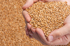 Hands full of ripe wheat seeds Stock Images