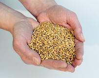 Hands full of ripe wheat Stock Photo