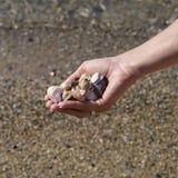 Hands full of sea shells Stock Photos