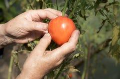 hands gammalt tar bort tomatkvinnan royaltyfria bilder
