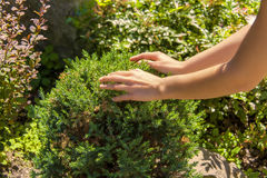 Hands on the garden bush. Hands caring about the garden bush Stock Image