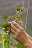 Hands of gardener with branch of cucumber in the greenhouse Stock Image