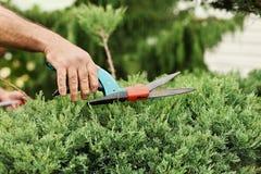 Hands gardener closeup cut juniper bush. Someone trimming bushes with garden scissors. Close-up view Stock Image