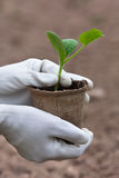Hands of gardener in gloves holding seedlings of cucumber Royalty Free Stock Images