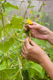 Hands of gardener working with cucumber plant in the greenhouse Stock Images