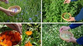 Hands gather cornflower mint marigold herb plants. Video collage stock video footage
