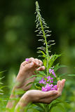 Hands gathering flowers of willow-herb (Ivan-tea), closeup Royalty Free Stock Photo
