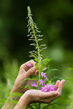 Hands gathering flowers of willow-herb (Ivan-tea) Stock Photography