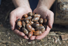 Hands with germinated acorns Royalty Free Stock Images
