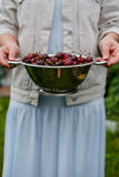 In the hands of the girl a large colander of fresh cherries. A new harvest of cherries with water drops. Photo in the garden. Stock Photography