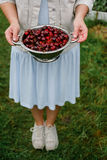 In the hands of the girl a large colander of fresh cherries. A new harvest of cherries with water drops. Photo in the garden. Royalty Free Stock Photography
