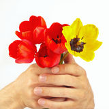 Hands gives a bunch of tulips on white background Stock Image