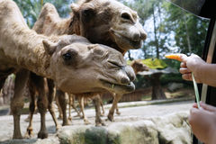 Hands giving carrot to camels Royalty Free Stock Photos