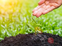 Hands giving water to a young tree for planting on bokeh backgro. Und. Save the earth, Save environment concept Royalty Free Stock Photo