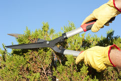 Garden work pruning hedge sky background Stock Photos