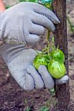Hands in gloves hold a branch with green tomatoes Royalty Free Stock Photography