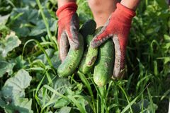 Hands with gloves holding fresh picked cucumbers Stock Photo