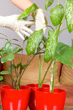 Hands with gloves nurture plants Royalty Free Stock Images