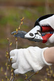 Hands in gloves pruning black current with secateurs. In the garden Royalty Free Stock Photo