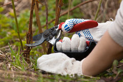 Hands in gloves pruning raspberry with secateurs Royalty Free Stock Images