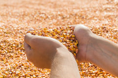 Hands with grain corn Stock Photos