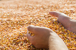 Hands with grain corn Royalty Free Stock Photo