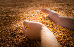 Hands with grain corn Stock Photography